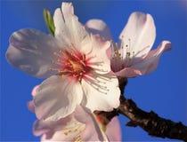λουλούδι ανθών αμυγδάλ&omeg Στοκ φωτογραφία με δικαίωμα ελεύθερης χρήσης