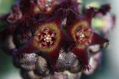 λουλούδι ανθών που συν&delt Στοκ φωτογραφία με δικαίωμα ελεύθερης χρήσης