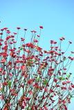 Λουλούδι ανθών ροδάκινων Στοκ Εικόνα