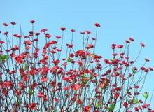 Λουλούδι ανθών ροδάκινων Στοκ Φωτογραφίες