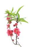 Λουλούδι ανθών ροδάκινων Στοκ Φωτογραφία