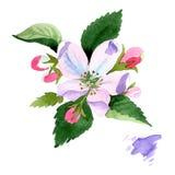 Λουλούδι ανθών της Apple Floral βοτανικό λουλούδι Απομονωμένο στοιχείο απεικόνισης Στοκ φωτογραφία με δικαίωμα ελεύθερης χρήσης