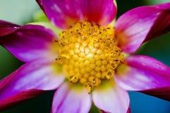 λουλούδι αντιθέσεων Στοκ Εικόνα