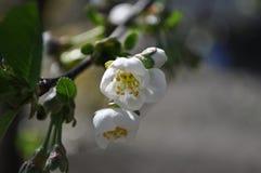 Λουλούδι από το Apple-δέντρο Στοκ Φωτογραφία