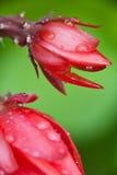 λουλούδι αρκετά κόκκιν&omi Στοκ Φωτογραφία