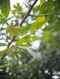 Λουλούδι αρώματος των μεγάλων σερνμένος εγκαταστάσεων, ANNONACEAE, hexapetalus Λ Artabotrys φ Bhandari Στοκ φωτογραφίες με δικαίωμα ελεύθερης χρήσης