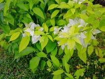 Λουλούδι Ασιάτης της Λευκής Βίβλου στοκ φωτογραφίες