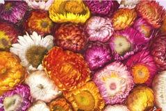 Λουλούδι αχύρου Στοκ Εικόνα