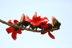 Λουλούδι βαμβακιού κινηματογραφήσεων σε πρώτο πλάνο που ανθίζει, κόκκινο δέντρο βαμβακιού μεταξιού Shimul λοβών λουλουδιών σε Mun Στοκ Φωτογραφία