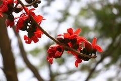 Λουλούδι βαμβακιού κινηματογραφήσεων σε πρώτο πλάνο που ανθίζει, κόκκινο δέντρο βαμβακιού μεταξιού Shimul λοβών λουλουδιών σε Mun Στοκ εικόνα με δικαίωμα ελεύθερης χρήσης