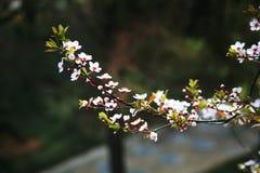 Λουλούδι βερίκοκων Στοκ εικόνα με δικαίωμα ελεύθερης χρήσης