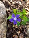 Λουλούδι βιγκών Στοκ φωτογραφία με δικαίωμα ελεύθερης χρήσης