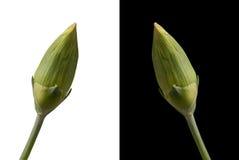 λουλούδι γαρίφαλων οφ&theta Στοκ Φωτογραφία