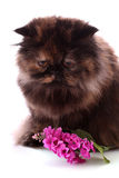 λουλούδι γατών Στοκ Εικόνες