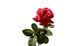 Λουλούδι για τη μόδα σχεδίου, άλλα meterials Στοκ φωτογραφίες με δικαίωμα ελεύθερης χρήσης