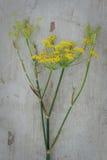 λουλούδι γλυκάνισου Στοκ Εικόνα