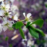 Λουλούδι δέντρων κερασιών στοκ εικόνα με δικαίωμα ελεύθερης χρήσης
