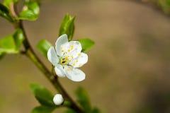Λουλούδι δέντρων της Apple στον κλαδίσκο Δέντρο της Apple που ανθίζει την άνοιξη Στοκ φωτογραφία με δικαίωμα ελεύθερης χρήσης