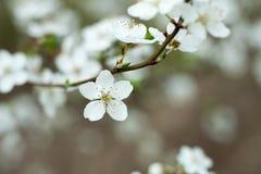 Λουλούδι δέντρων της Apple στον κλαδίσκο Δέντρο της Apple που ανθίζει την άνοιξη Στοκ φωτογραφίες με δικαίωμα ελεύθερης χρήσης