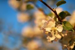 Λουλούδι δέντρων της Apple στο ηλιοβασίλεμα Στοκ Εικόνες