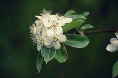 Λουλούδι δέντρων της Apple Στοκ Φωτογραφία