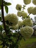 Λουλούδι δέντρων χιονιών στοκ φωτογραφία με δικαίωμα ελεύθερης χρήσης