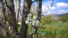 Λουλούδι δαμάσκηνων στο δέντρο στη φύση απόθεμα βίντεο