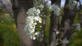 Λουλούδι δαμάσκηνων στο δέντρο στη φύση φιλμ μικρού μήκους