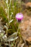 Λουλούδι εγκαταστάσεων Carduus Στοκ Φωτογραφία