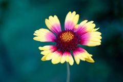 Λουλούδι ενός κοινού aristata Gaillardia gaillardia Γενικό flo Στοκ φωτογραφία με δικαίωμα ελεύθερης χρήσης