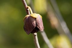 Λουλούδι ενός Papaw δέντρου Στοκ φωτογραφία με δικαίωμα ελεύθερης χρήσης
