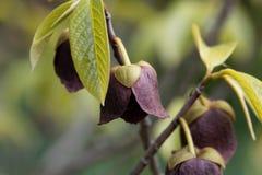 Λουλούδι ενός Papaw δέντρου Στοκ εικόνα με δικαίωμα ελεύθερης χρήσης