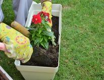 Λουλούδι επαν-potting γυναικών Στοκ Φωτογραφίες