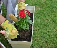 Λουλούδι επαν-potting γυναικών Στοκ φωτογραφίες με δικαίωμα ελεύθερης χρήσης