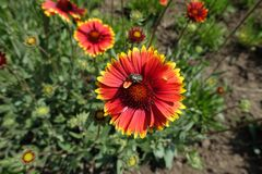 Λουλούδι επικονίασης εντόμων του aristata Gaillardia Στοκ Εικόνα