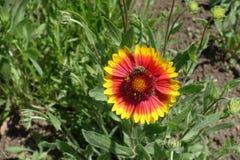 Λουλούδι επικονίασης μελισσών μελιού Gaillardia Στοκ φωτογραφίες με δικαίωμα ελεύθερης χρήσης