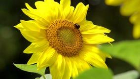 Λουλούδι ηλίανθων στον πράσινο μίσχο απόθεμα βίντεο