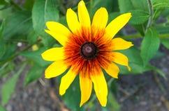 Λουλούδι η μαύρη Eyed Susan Χαρούμενες διακοσμητικές εγκαταστάσεις Στοκ Εικόνα