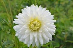 Λουλούδι κάκτων νταλιών στενό στον επάνω κήπων στοκ εικόνα