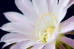 λουλούδι κάκτων Στοκ Εικόνα