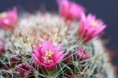 λουλούδι κάκτων στοκ φωτογραφίες