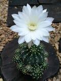 Λουλούδι κάκτων Whute στοκ εικόνα με δικαίωμα ελεύθερης χρήσης