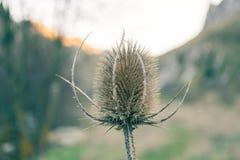 Λουλούδι κάρδων στοκ εικόνες με δικαίωμα ελεύθερης χρήσης