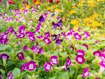 Λουλούδι κήπων, τομέας του λουλουδιού μαργαριτών Στοκ Εικόνες