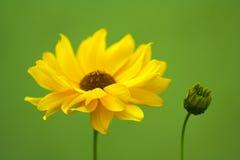 λουλούδι κίτρινο Στοκ φωτογραφία με δικαίωμα ελεύθερης χρήσης