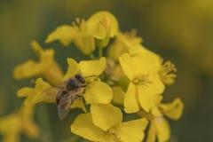 Λουλούδι και μέλισσα βιασμών Μέλισσα μελιού που συλλέγει τη γύρη στοκ φωτογραφίες