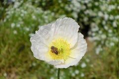 Λουλούδι και μέλισσα στο Χονγκ Κονγκ Στοκ φωτογραφία με δικαίωμα ελεύθερης χρήσης