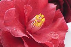 λουλούδι καμελιών Στοκ Φωτογραφίες