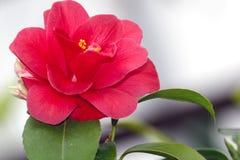 Λουλούδι καμελιών Στοκ Εικόνες