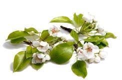 Λουλούδι κερασιών άνθισης άνοιξη στο άσπρο υπόβαθρο Στοκ Εικόνες